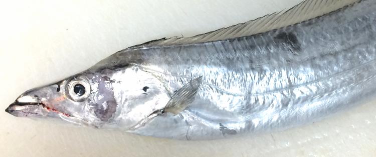 富山 居酒屋 太刀魚
